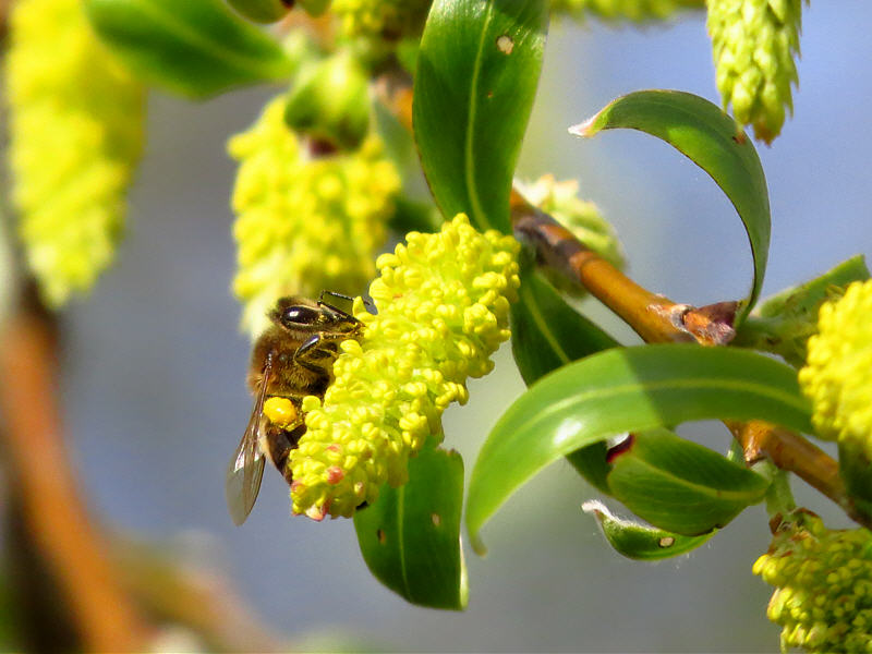 Ива белая и пчёлы на её цветках