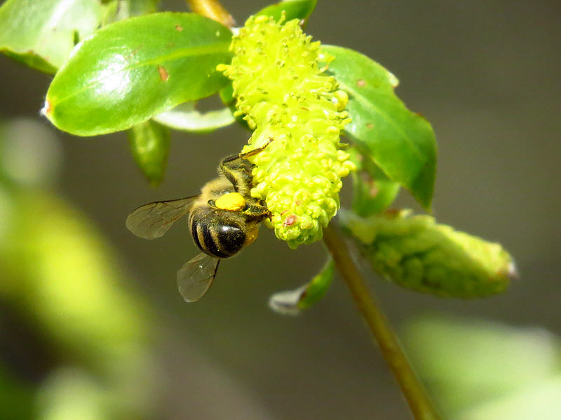 Пчела на цветке ивы белой