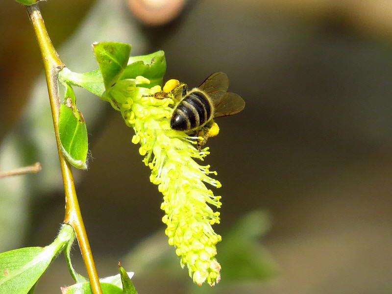 Пчела на цветках ивы белой