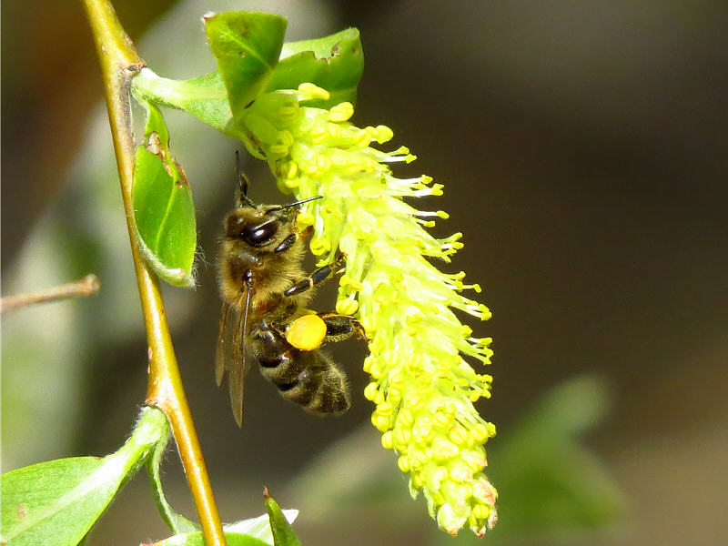 Пчела на цветках ветлы