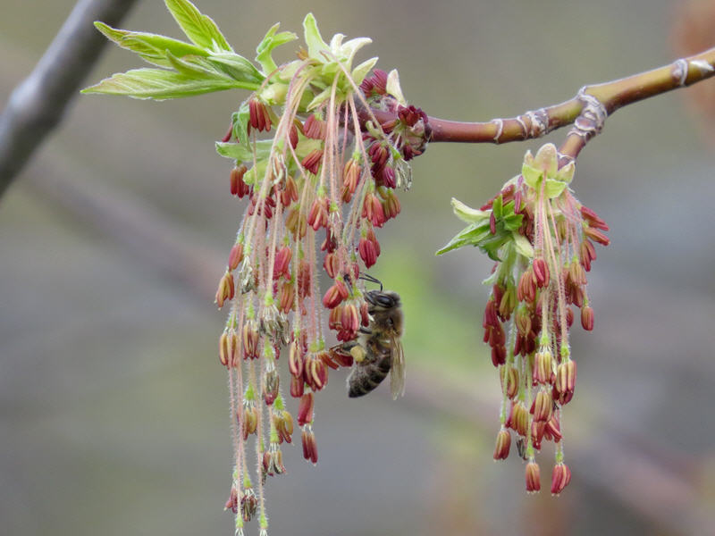 Пчела на цветке клёна ясенелистного