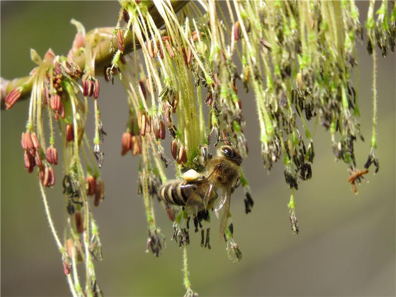 Пчела на соцветии американского клёна