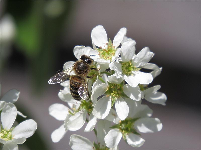 Пчела на цветках ирги