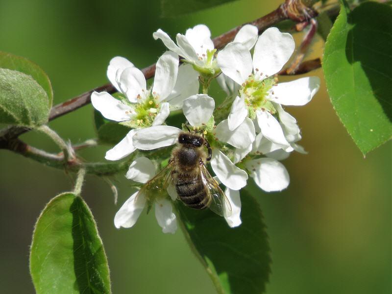 Соцветия ирги посещают пчёлы