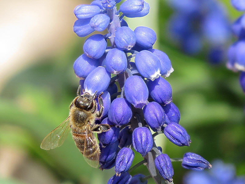 Мышиный гиацинт и пчела