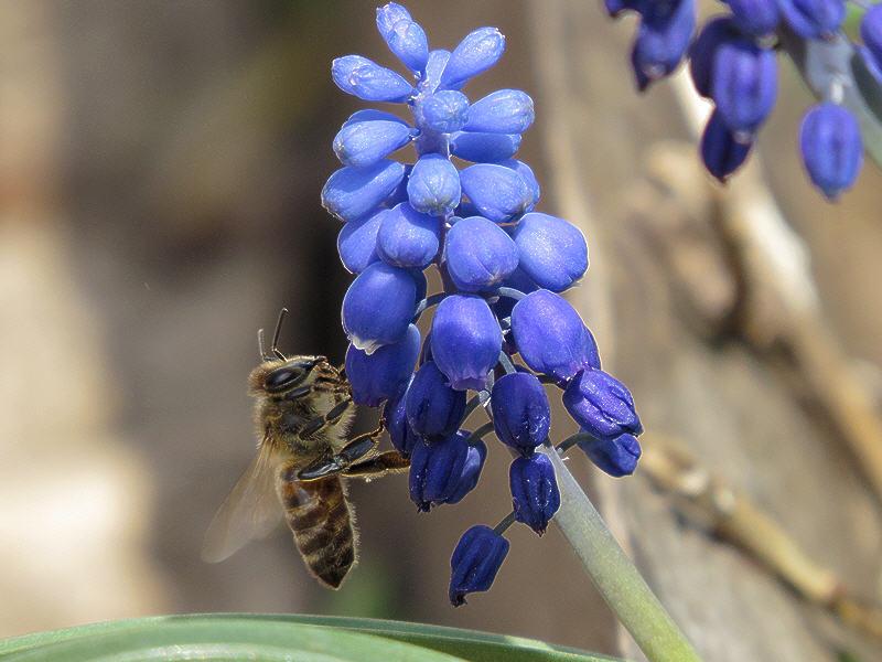 Пчела и гадючий лук