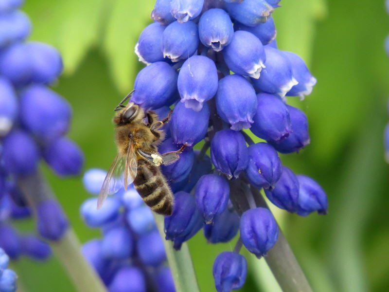 Пчела на цветках мускари