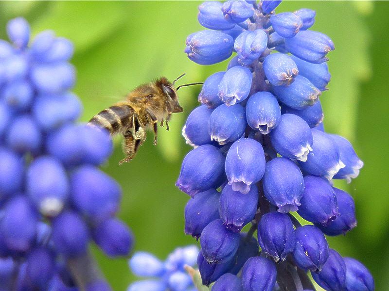 Пчёлка подлетает к цветку мускари