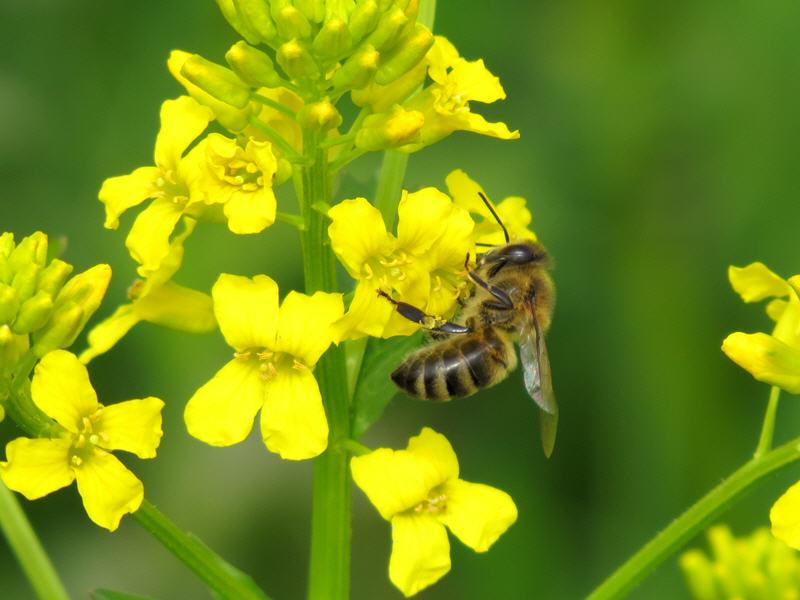 Пчела опыляет сурепку