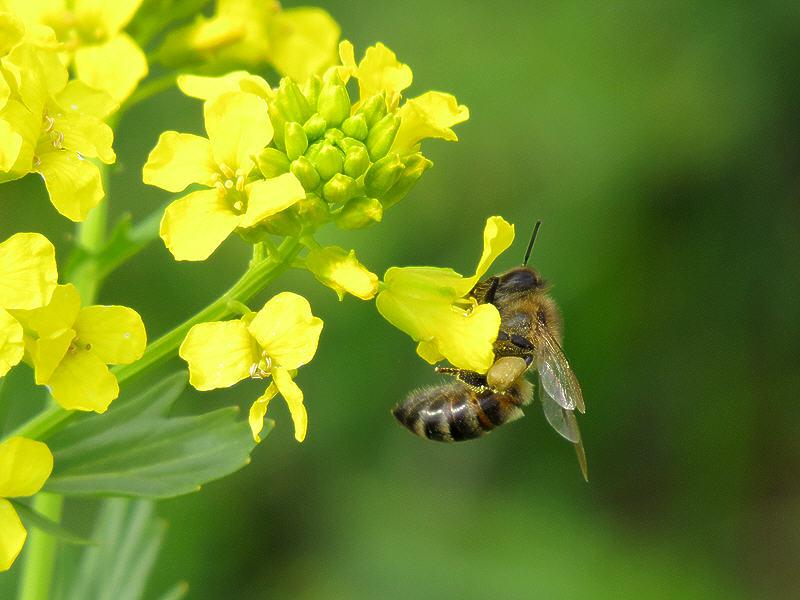 Пыльца с сурепки