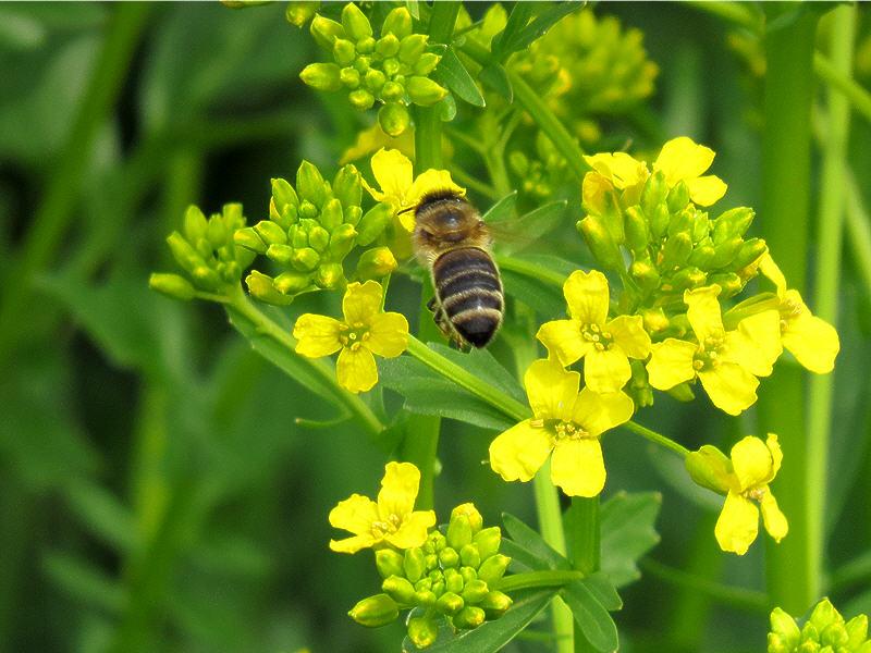 Место посадки - цветок сурепицы