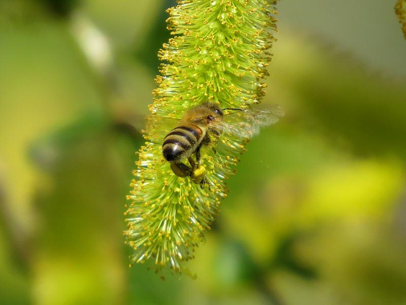 Пчела на цветке ивы пятитычинковой