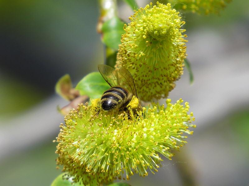 Пчела на цветах ивы