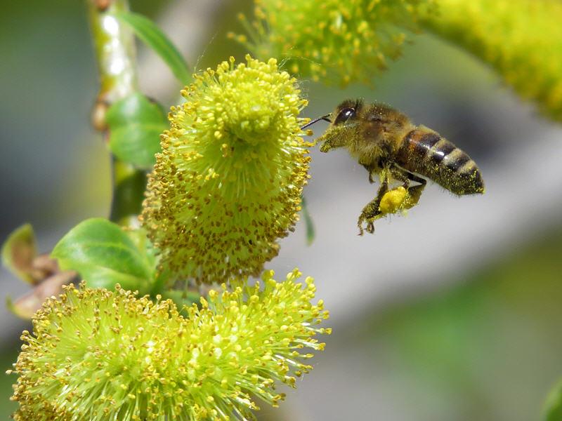 Пчёлы на цветках ивы