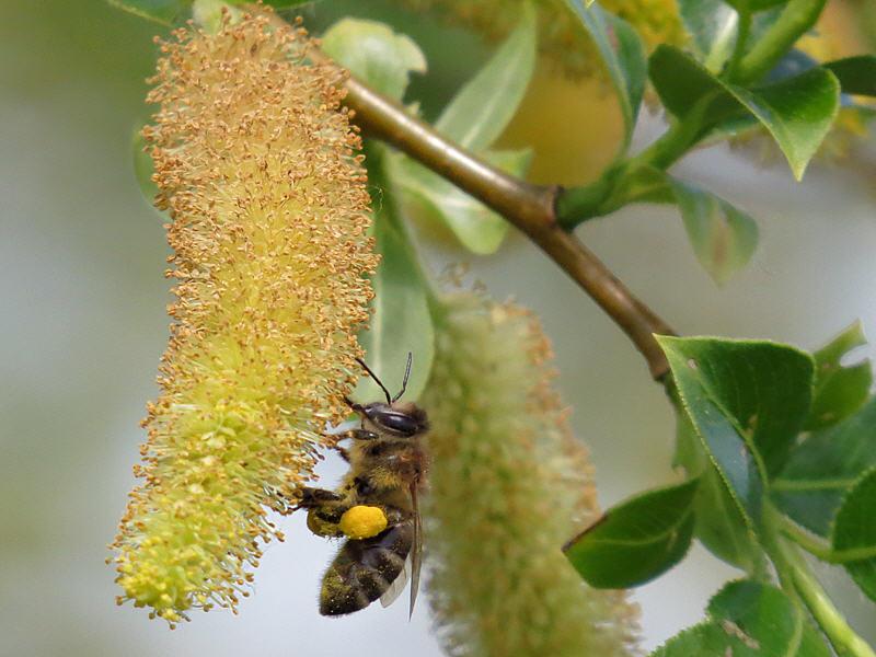Пчела на цветках чернотала