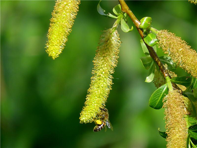 Ива пятитычинковая и медоносная пчела