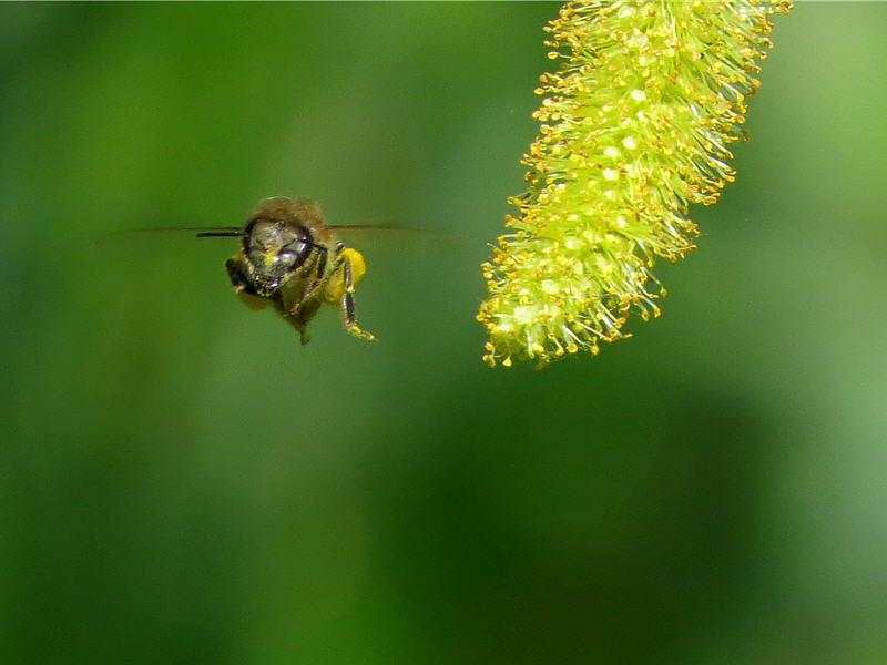Пчела и серёжка ивы