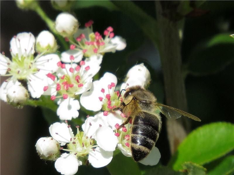 Пчела на цветах черноплодной рябины