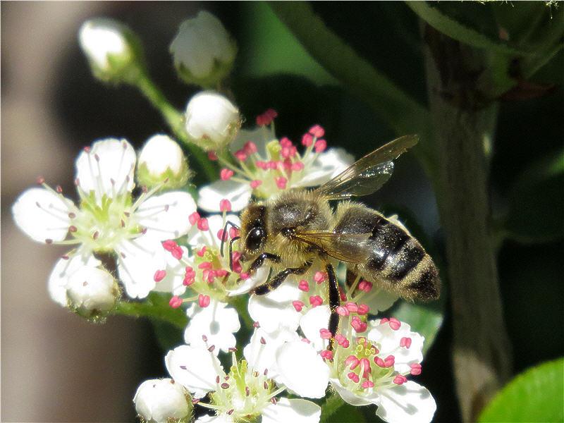 Пчела на цветке аронии