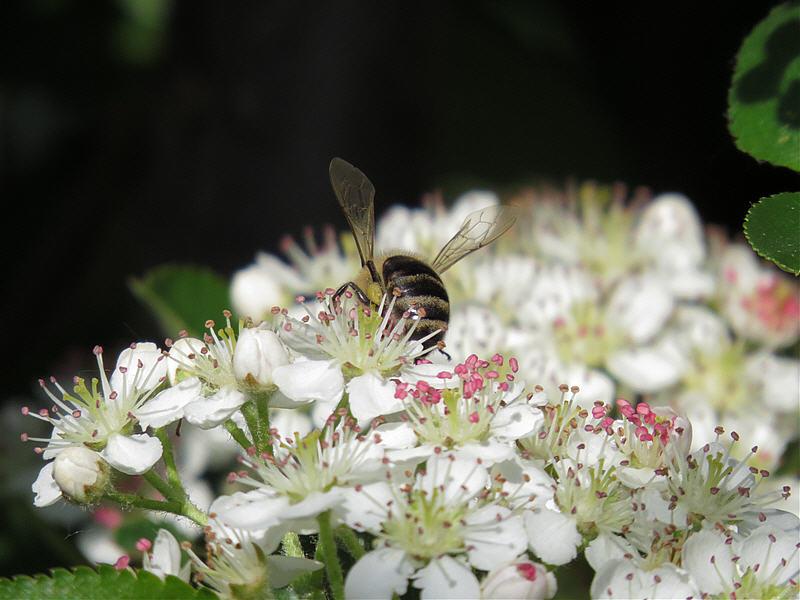 Пчела на цветках аронии
