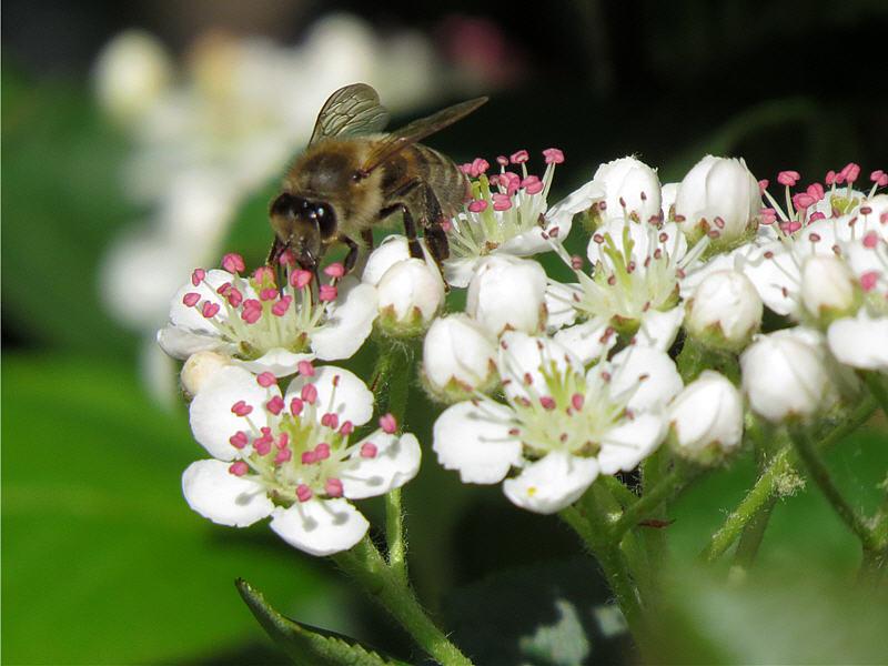 Пчёлы на цветках черноплодной рябины