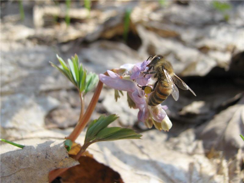 Хохлатка фото пчела