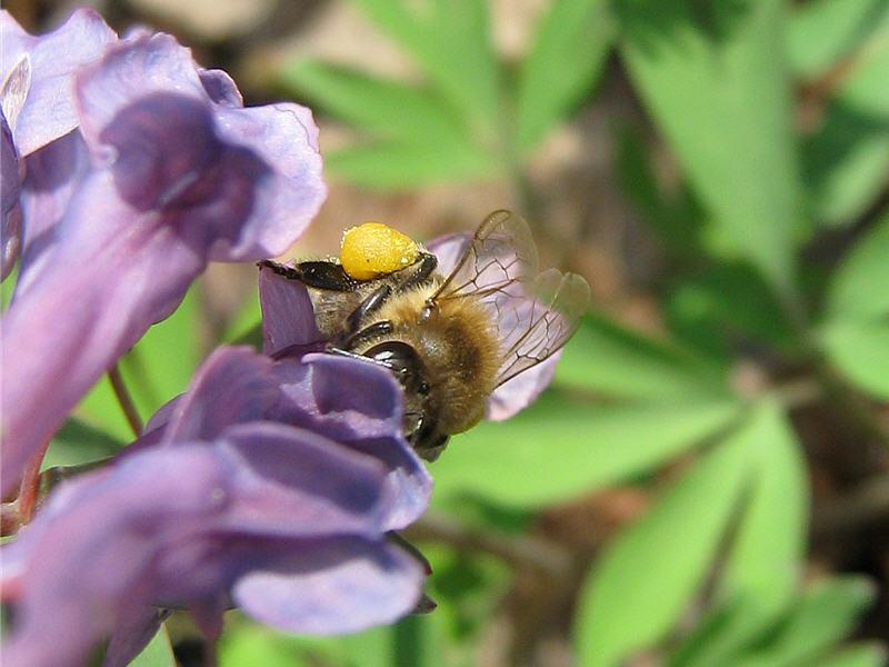 Пчела на цветках хохлатки