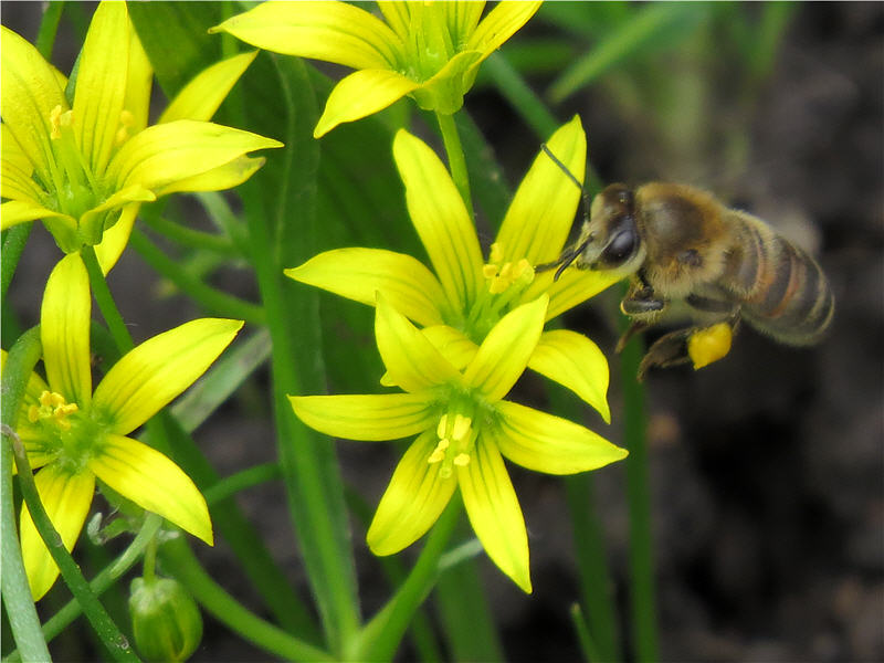 Пчела на цветке гусиного лука