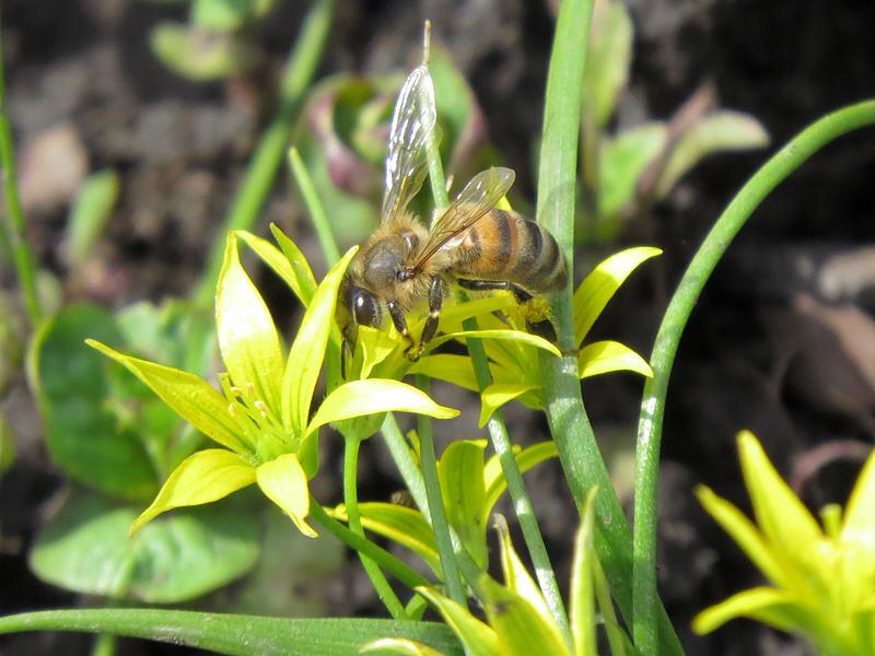 Пчела на цветке гусиного лука маленького