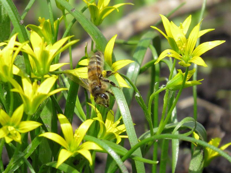 Гусиный лук малый и пчела