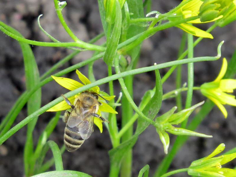 Пчела на цветке гусиного лука малого
