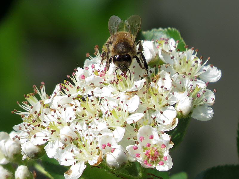 Пчела на цветках аронии черноплодной
