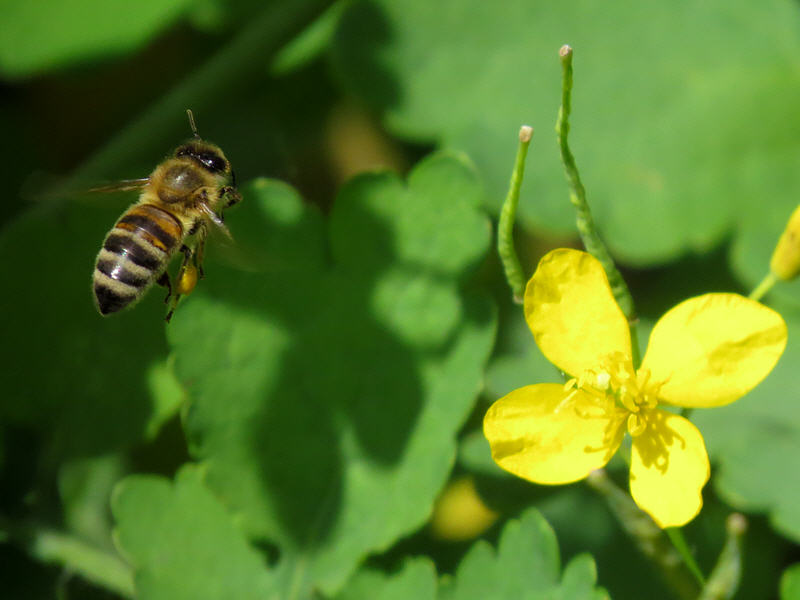 Пчёлы на цветках чистотела