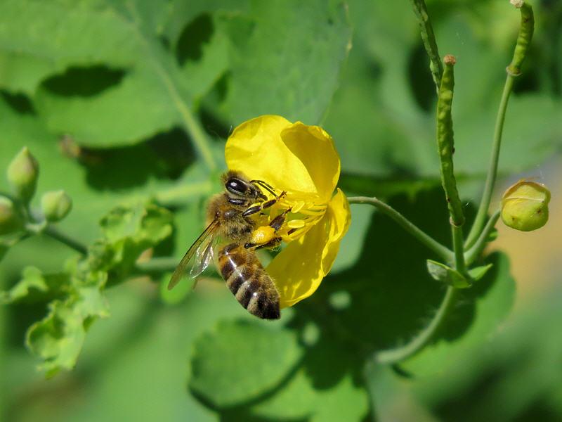 Пчела на цветке чистотела