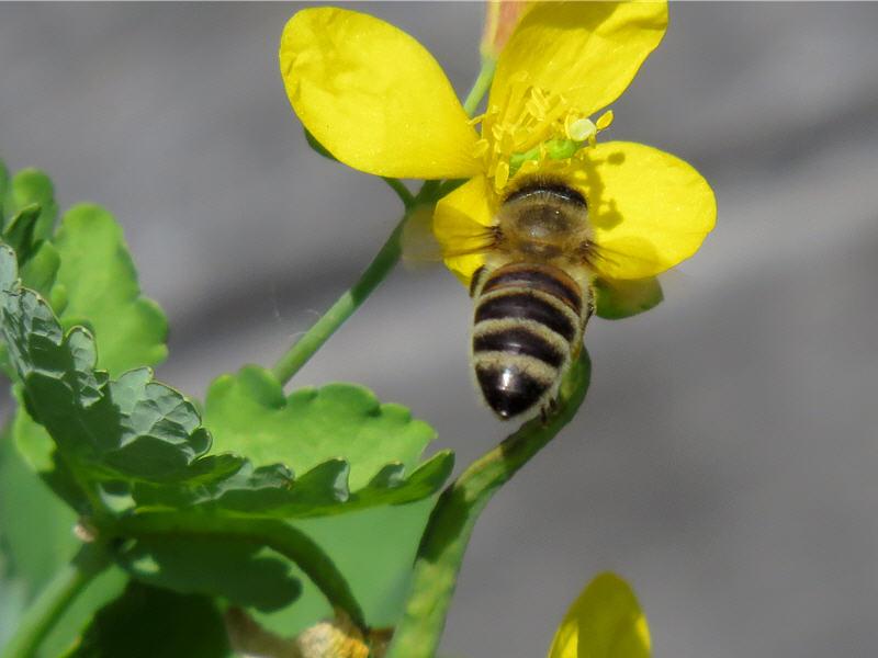 Полетели пчёлы на цветки чистотела