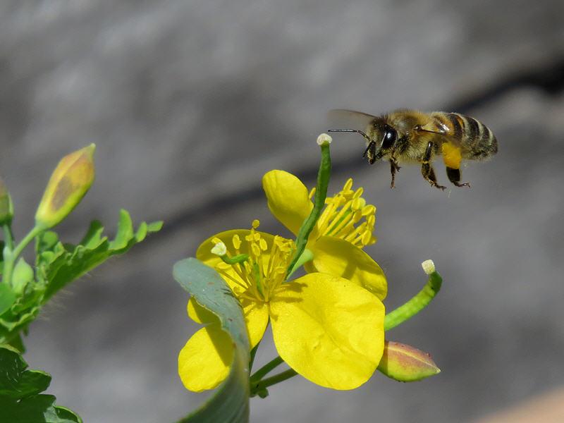 Пчела ищет цветок