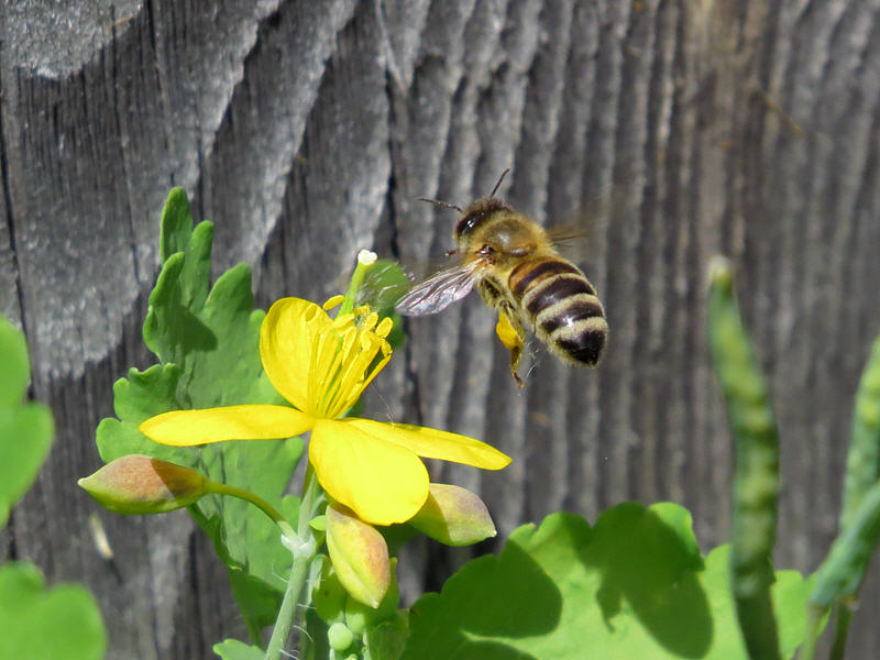 Медоносная пчела и цветок