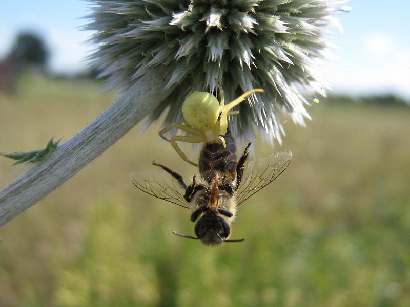 Пчела в пасти паука-бокохода