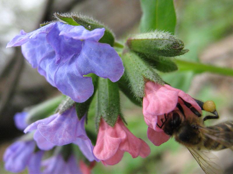 Пчела на цветке медуницы