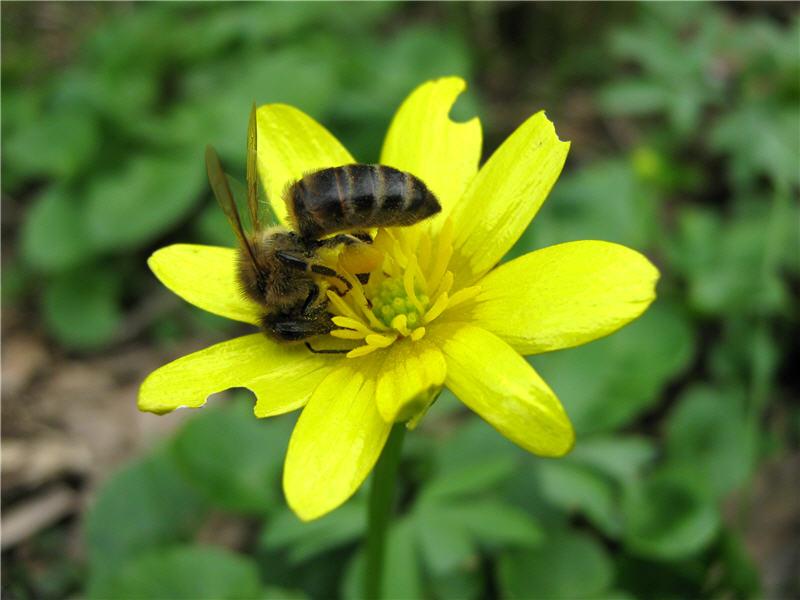 Пчела и лютик весенний