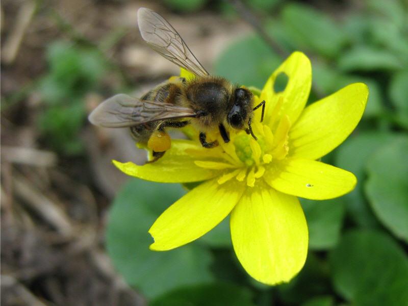 Пчела на цветке чистяка
