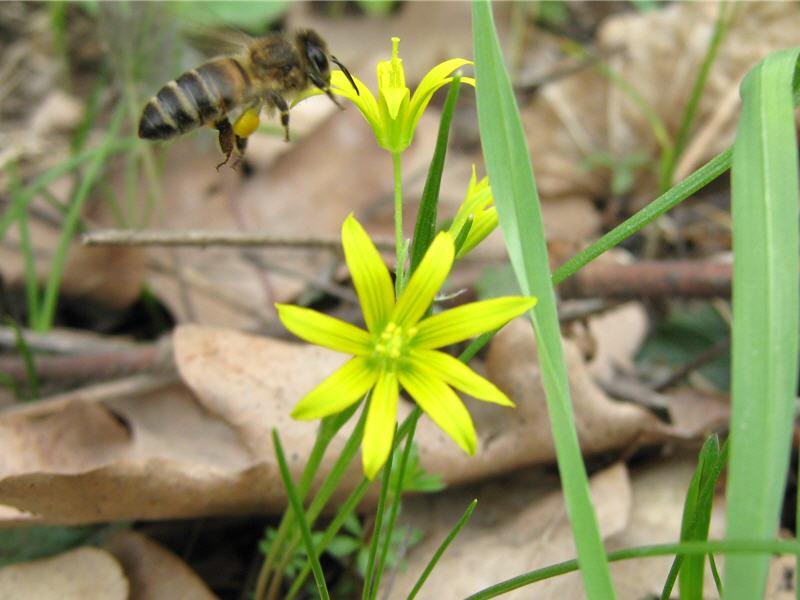 Пчела и цветок гусиного лука