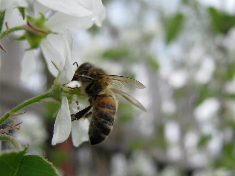 Пчела посещает иргу