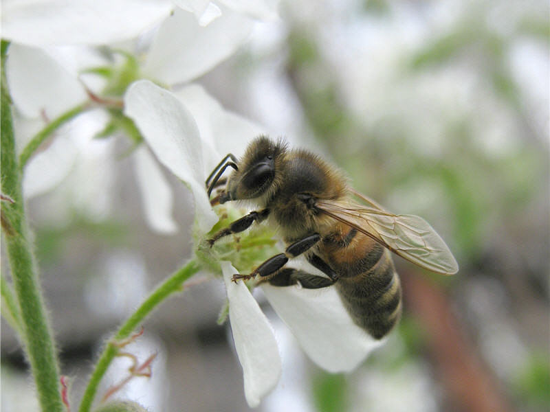 Пчела на цветке ирги