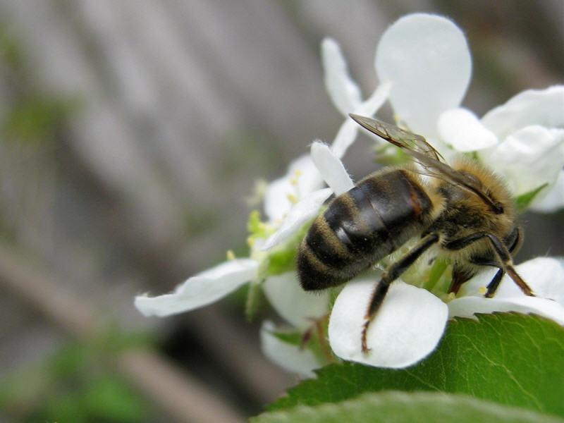 Пчёлка и цветок ирги колосистой