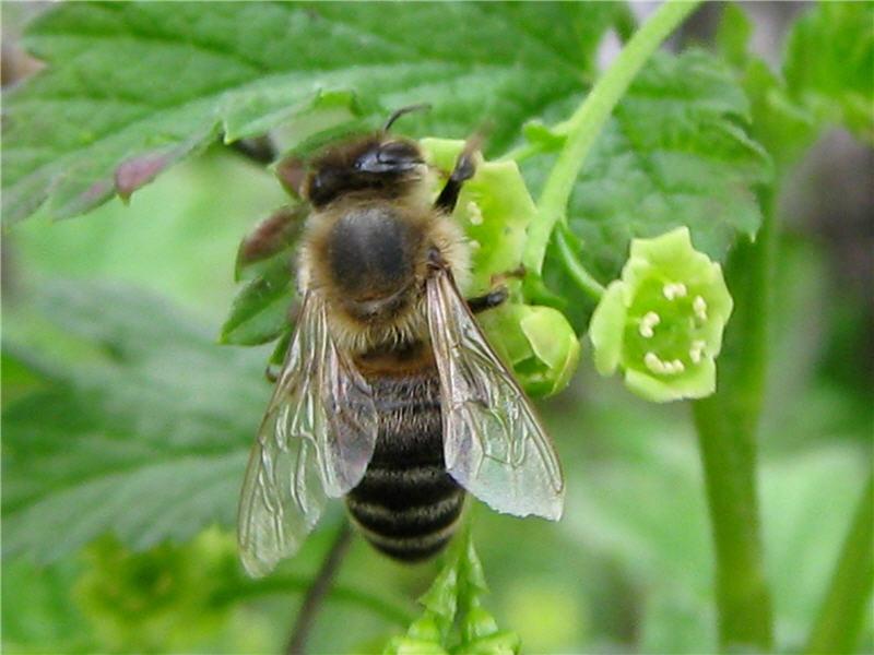 Пчела на цветках красной смородины