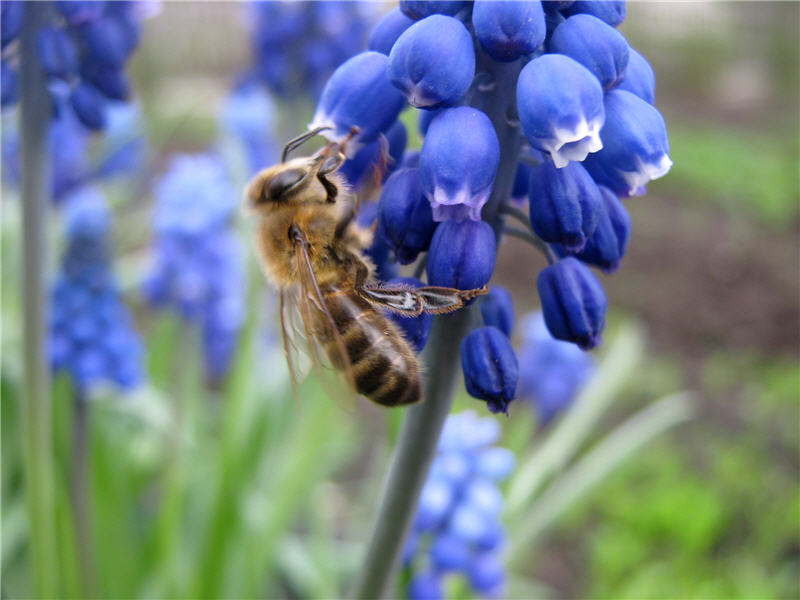 Пчела на цветке мускари