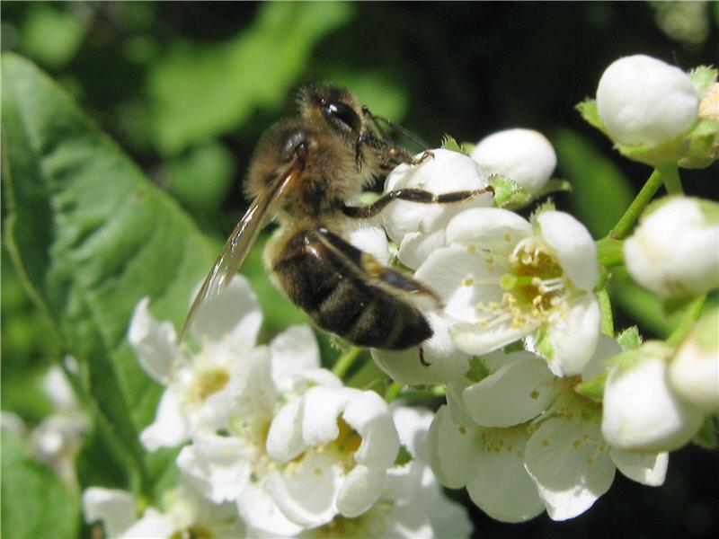 Пчела и цветок черёмухи