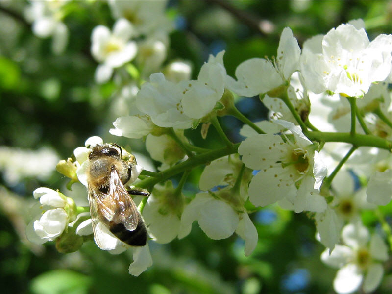 Пчёлы на цветках черёмухи