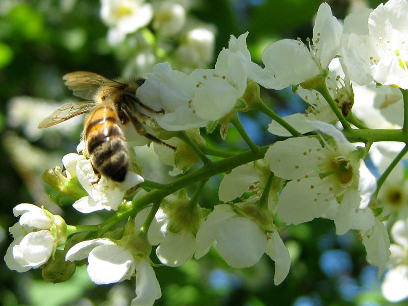 Цветки черёмухи